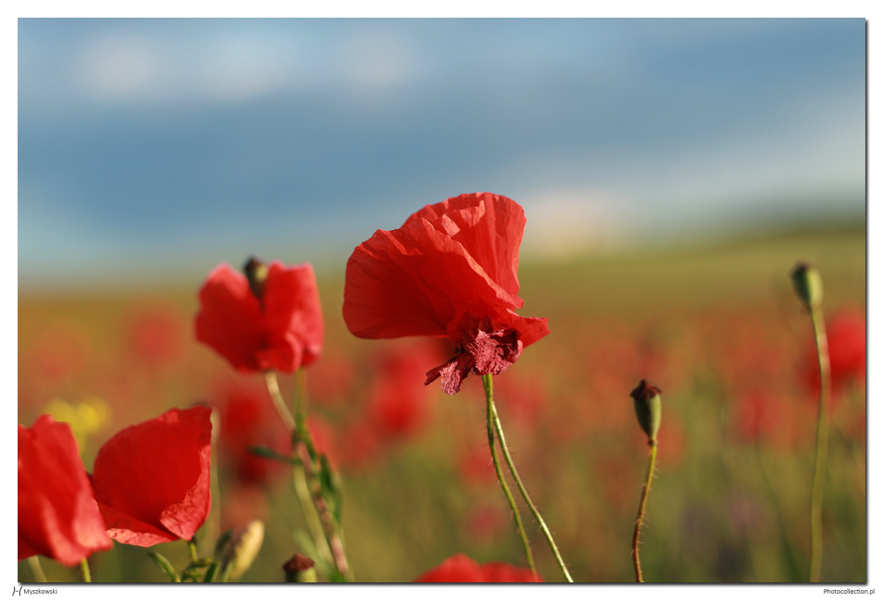 poppy; maki; mak; fields; pole'summer; lato; photocollection.pl; Kordian Myszkowski